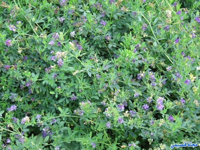 البرسيم الحجازي - الفصة - الفصفصة - alfalfa - medicago sativa