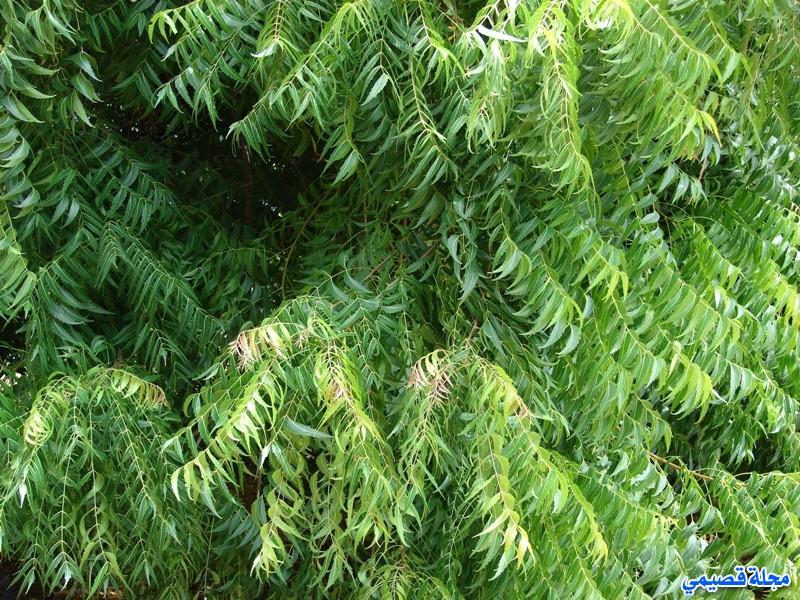 النيم Neem - azadirachta indica