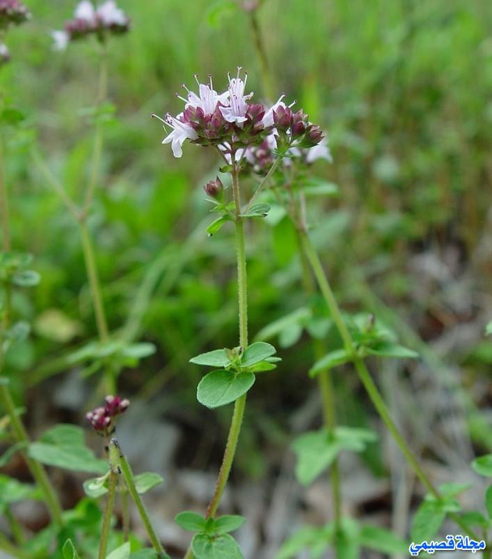 عشبة البردقوش - الوزاب - الدوش - origanum majorana